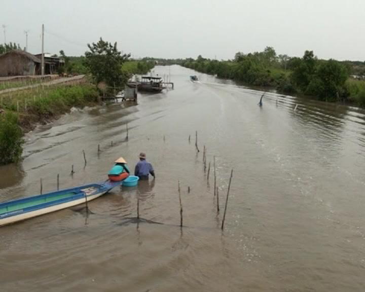 Huyện Phú Tân nuôi sò ven sông cho thu nhập khá