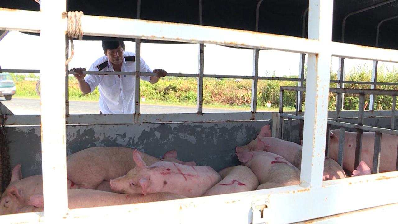 Cấp bách phòng dịch tả lợn châu Phi