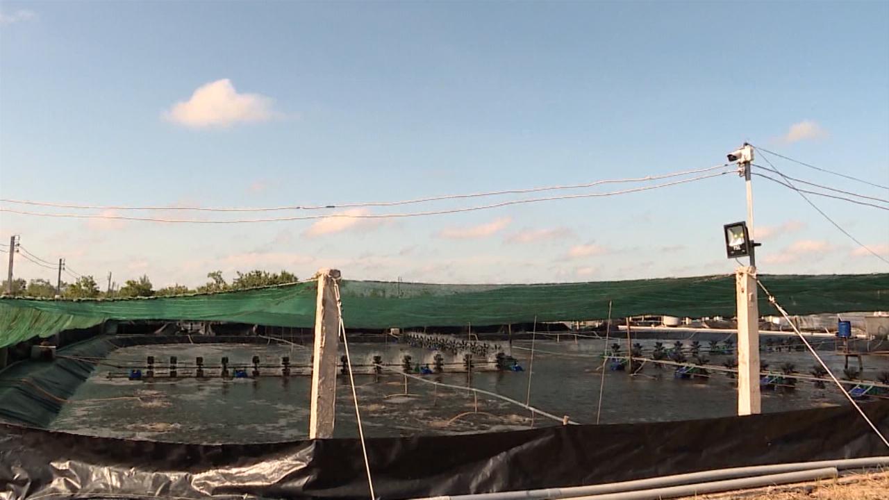 Nắng nóng, nhiều diện tích nuôi tôm bị ảnh hưởng