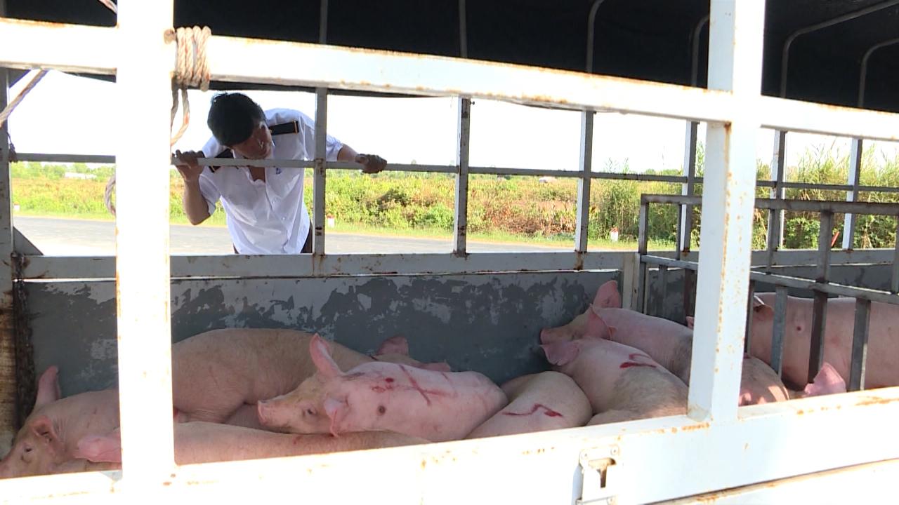 Triển khai các giải pháp cấp bách phòng, chống dịch tả lợn châu Phi