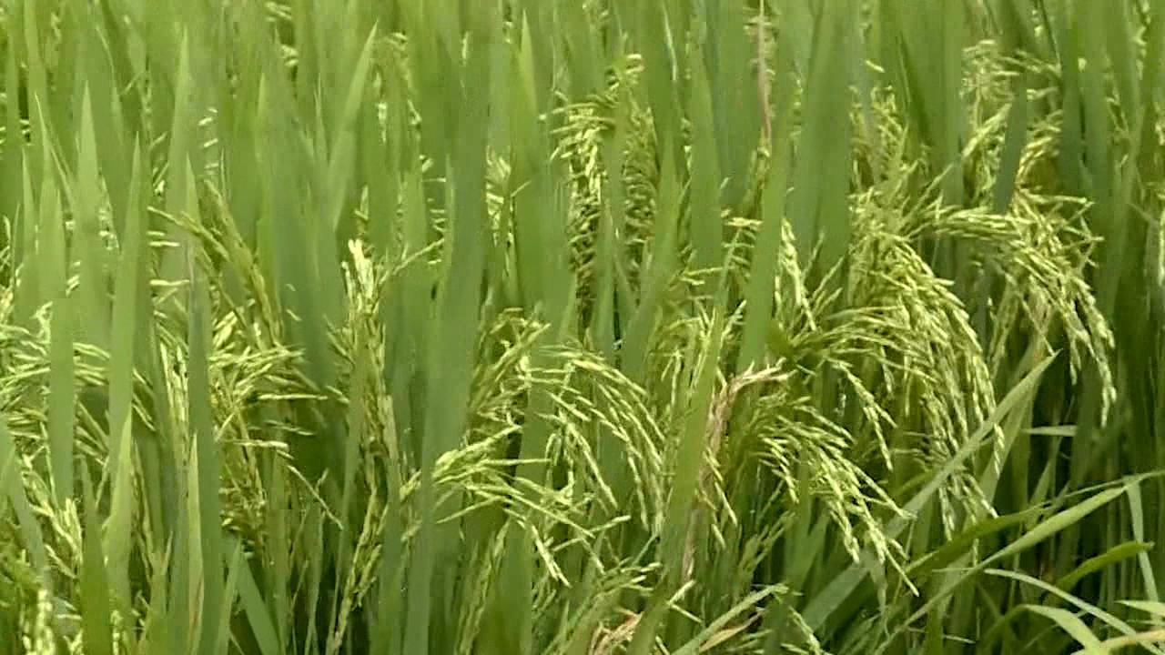 Chọn giống lúa phù hợp cho vụ hè thu